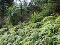 Starr 070405-6746 Cordyline australis.jpg
