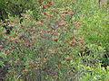 Starr 070405-6853 Dodonaea viscosa.jpg