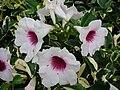 Starr 070906-9102 Pandorea jasminoides.jpg