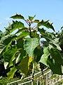 Starr 071024-0177 Euphorbia pulcherrima.jpg