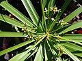 Starr 071024-0336 Cyperus involucratus.jpg