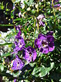 Starr 080103-1245 Angelonia angustifolia.jpg