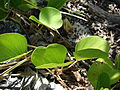 Starr 080603-5764 Ipomoea pes-caprae subsp. brasiliensis.jpg