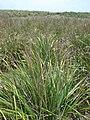 Starr 080605-6700 Eragrostis variabilis.jpg