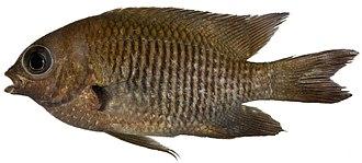 Stegastes diencaeus - Image: Stegastes diencaeus, Adult (Longfin Damselfish) (2848474835)