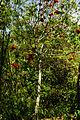 Sterculia lanceolata 4.jpg