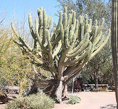 Stetsonia coryne - Desert Botanical Garden.jpg
