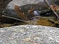 Stream Glory Damselfly (Neurobasis chinensis)Female (20215687199).jpg