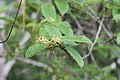 Strophanthus hispidus (Apocynaceae) (24148197230).jpg