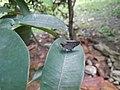 Suastus gremius, West Borneo, Indonesia.jpg