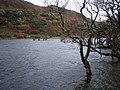 Submerged trees at Northern end of Cynwch. - geograph.org.uk - 306919.jpg