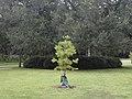 Suburban tree in bag.jpg