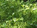 Sumpfcalla Sothrieth 12.jpg
