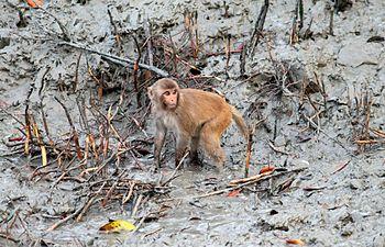 Sunderban Macaques.jpg