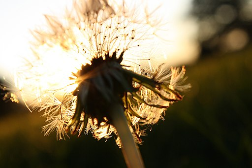 Sunlight through a dandelion