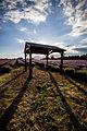 Sutton Lavender field 201.jpg