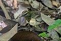 Swainson's Warbler Hooks Wood High Island TX 2018-04-11 09-55-34 (41767221372).jpg