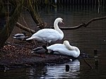 File:Swan couple during Winter Großer Garten 101995281.jpg
