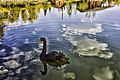 Swan reflection Nature landscape Ukraine (8228468285).jpg