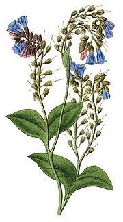 Symphytum caucasicum - Curtis.jpg