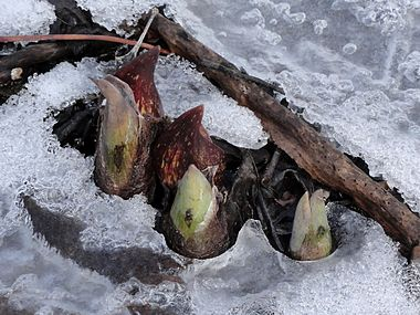 Symplocarpus foetidus SCA-05544.jpg