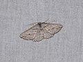 Syneora mundifera (26136610928).jpg