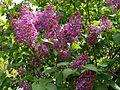 Syringa 4 (Poltava Botanical garden).jpg