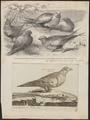 Syrrhaptes paradoxus - 1700-1880 - Print - Iconographia Zoologica - Special Collections University of Amsterdam - UBA01 IZ16900055.tif