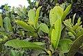 Syzygium caryophyllatum 51.JPG