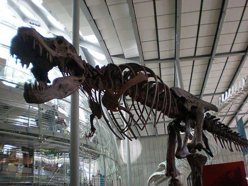 هيكل تي ريكس ديناصور