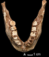 TPL2 mandible occlusal view.PNG