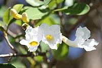 Tabebuia roseo-alba 1