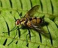 Tachinidae 2 Munsiyari.jpg