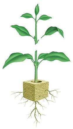 Plant Propagation Cloning Wikiversity