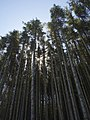 Tall conifers - geograph.org.uk - 513616.jpg