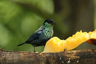 Black-capped tanager - In Ecuador