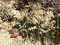 Taraxacum serotinum sl78.jpg