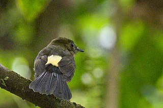 Tawny-breasted myiobius