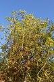 Taxodium distichum 78zz.jpg