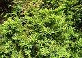 Taxus canadensis kz02.jpg