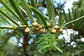 Taxus wallichiana kz02.jpg