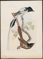 Tchitrea mutata - 1868 - Print - Iconographia Zoologica - Special Collections University of Amsterdam - UBA01 IZ16500049.tif