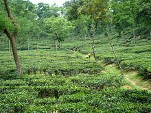 tea production  bangladesh wikipedia