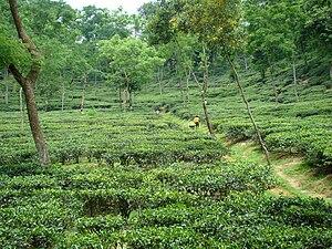 Tea production in Bangladesh - A tea garden in Sylhet district