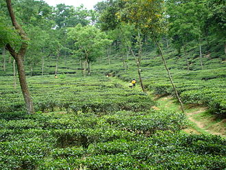 Sylhet - The Mulnicherra Estate is the oldest tea garden in South Asia