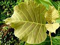 Teak leafs.jpg