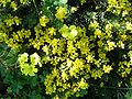 Teline linifolia3.jpg