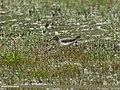 Temminck's Stint (Calidris temminckii) (29068042835).jpg