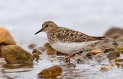Temmincks Stint.jpg