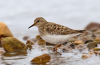 Temminck's stint - In breeding plumage